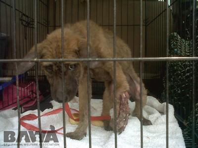 Protection des animaux à Bali : BAWA, la cour des miracles. Chien blessé en cage