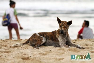 Protection des animaux à Bali : BAWA, la cour des miracles. Chien heureux