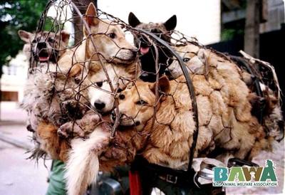 Protection des animaux à Bali : BAWA, la cour des miracles. Chiens pour la boucherie