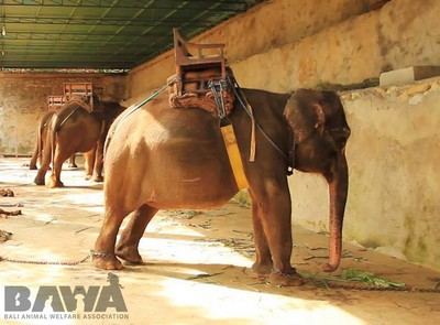 Protection des animaux à Bali : BAWA, la cour des miracles. Tous les animaux