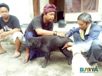 Protection des animaux à Bali : BAWA, la cour des miracles. Examen a domicile