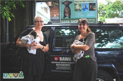 Janice, une grosse dose d'héroïne pour les animaux de Bali. Une benevole