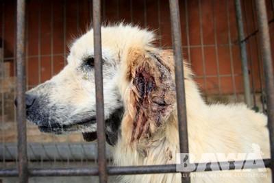 Protection des animaux à Bali : BAWA, la cour des miracles. Maladies