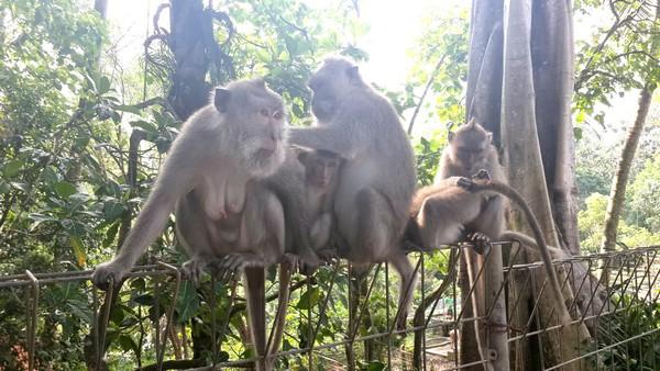 Protection des animaux à Bali : BAWA, la cour des miracles. Monkey Forest