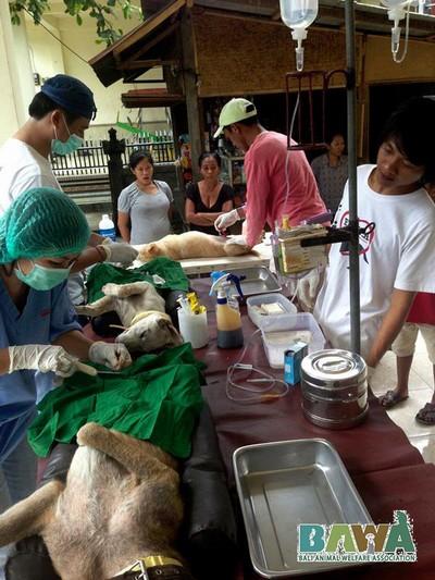 Protection des animaux à Bali : BAWA, la cour des miracles. Campagne de stérilisation