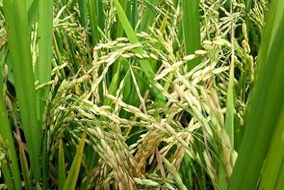 Rizière et cocotier : le grenier balinais. Le riz